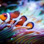 4 Keunikan Pada Ikan Nemo Yang Tidak Ditemui Pada Jenis Ikan Lain